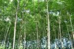 Gỗ Xoan Đào là gì? Nguồn gốc xuất xứ cây Xoan Đào? Ứng dụng gỗ Xoan Đào trong nội thất