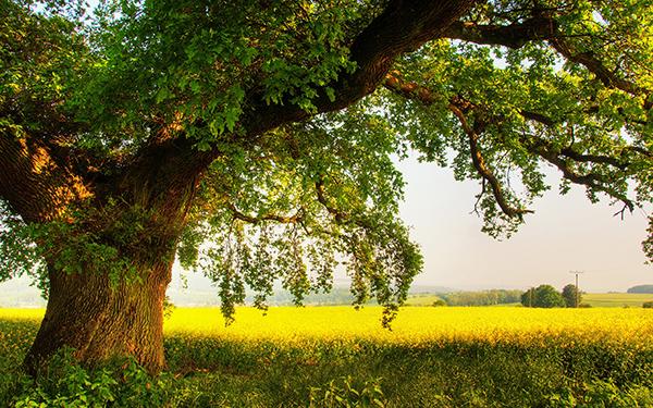 Tubeptruongthanh.com: Gỗ Sồi là gì? Có mấy loại gỗ Sồi? Ứng dụng gỗ Sồi: Tủ bếp gỗ sồi Mỹ